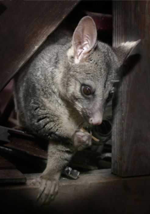 brushtail-possum
